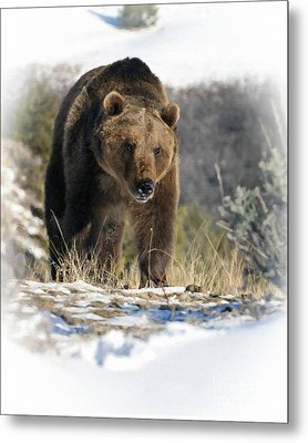 Grizzly Bear - Seeking Hibernation Metal Print by Wildlife Fine Art