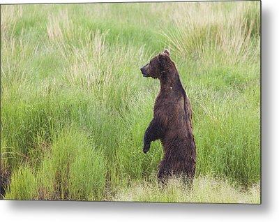 Grizzly Bear Ursus Arctos Standing Metal Print