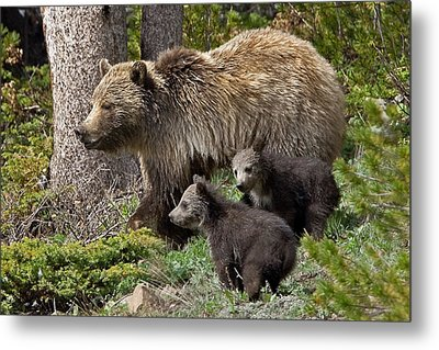 Grizzly Bear With Cubs Metal Print by Jack Bell
