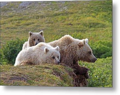 Grizzly Bear With Young Metal Print