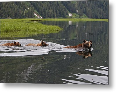 Grizzly Bears Swimming Metal Print