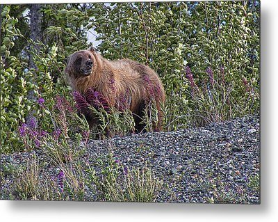 Grizzly Metal Print by David Gleeson