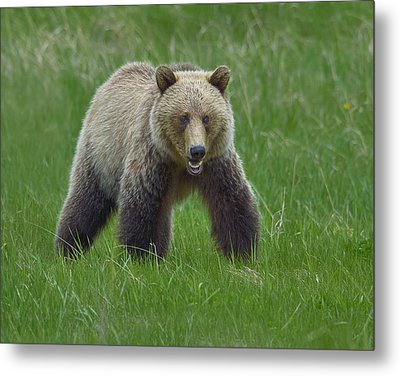 Grizzly Metal Print by Tony Beck