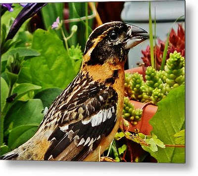 Metal Print featuring the photograph Grosbeak Profile by VLee Watson