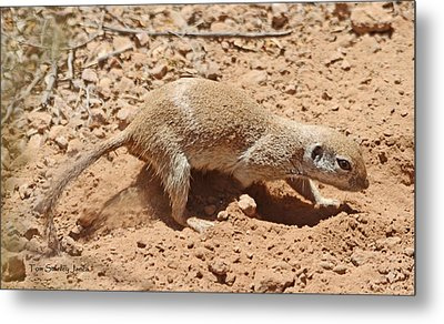 Ground Squirrel Digging A Hole In The Hot Desert Metal Print by Tom Janca