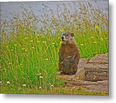 Groundhog At Point Amour In Labrador Metal Print by Ruth Hager