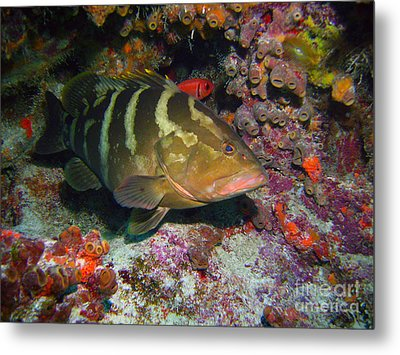 Grouper Metal Print by Carey Chen