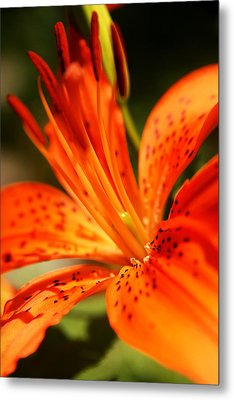 Growing Flame Metal Print by Kim Lagerhem