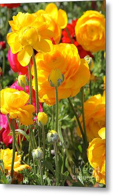 Growth Of A Ranunculus Metal Print by Suzanne Oesterling