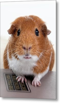 Guinea Pig Talent Metal Print by Susan Stone