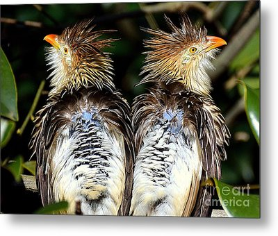 Metal Print featuring the photograph Guira Cuckoos by Lisa L Silva