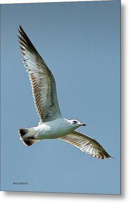 Gull At Ferril Lake Metal Print by Stephen  Johnson