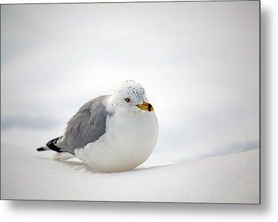 Gulls Winter Pose Metal Print by Karol Livote