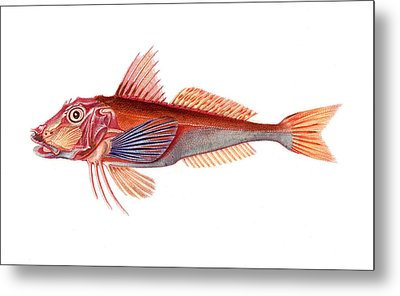 Gurnard Metal Print by Collection Abecasis