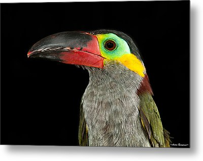Metal Print featuring the photograph Guyana Toucanette by Avian Resources