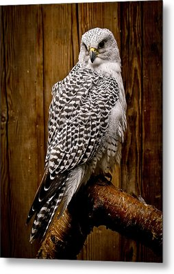 Gyrfalcon Perched Metal Print