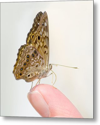 Hackberry Emperor On Finger Metal Print by Melinda Fawver