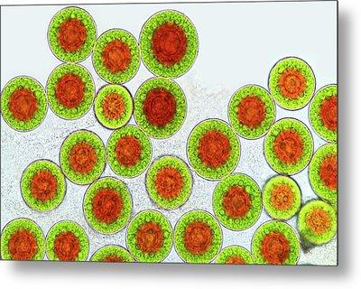 Haematococcus Algae Metal Print by Marek Mis