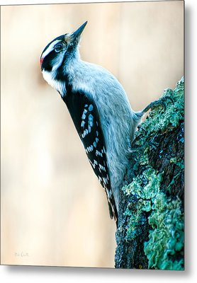 Hairy Woodpecker Metal Print by Bob Orsillo