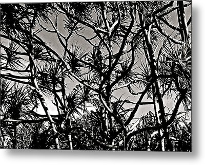 Hala Trees Metal Print by Kim Pippinger