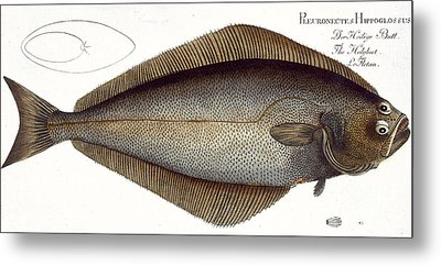 Halibut Metal Print by Andreas Ludwig Kruger