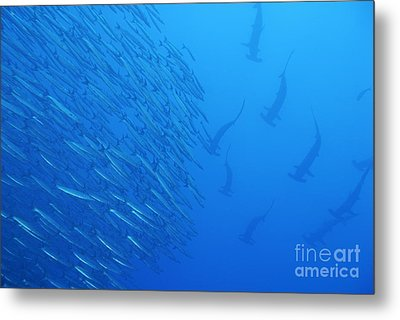 Hammerhead Sharks By School Of Fishes Metal Print by Sami Sarkis