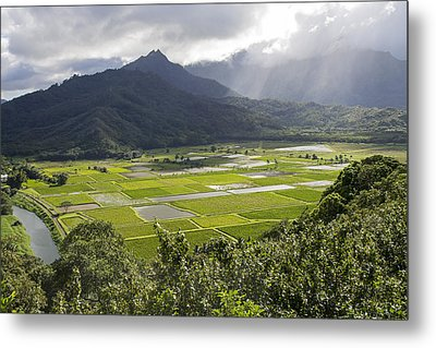 Hanalei Taro Fields Metal Print by Saya Studios