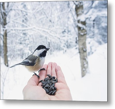 Hand Feeding A Black-capped Chickadee Metal Print by Julie DeRoche