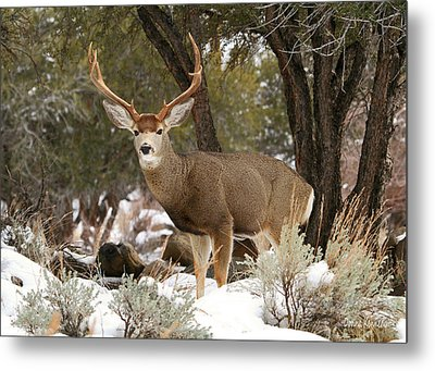 Handsome Buck Metal Print by Donna Kennedy