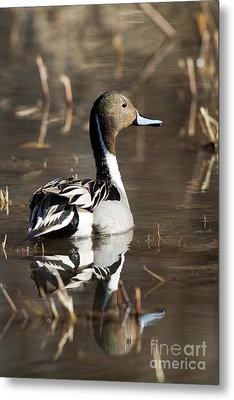 Northern Pintail Duck Metal Print by Martha Marks
