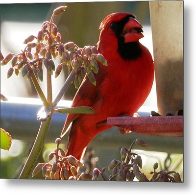 Handsome Red Male Cardinal Visiting Metal Print