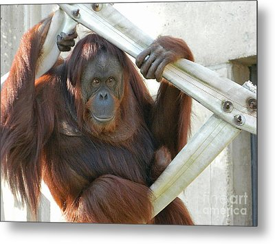 Metal Print featuring the photograph Hanging Out - Melati The Orangutan by Emmy Marie Vickers