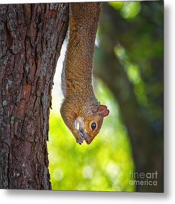 Hanging Squirrel Metal Print by Stephanie Hayes