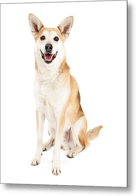 Happy Australian Cattle Dog And Shiba Inu Mix Metal Print