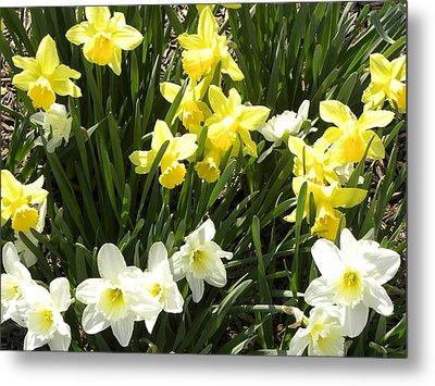 Happy Daffodils  Metal Print by Cim Paddock