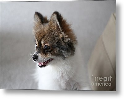 Happy Pomeranian Metal Print