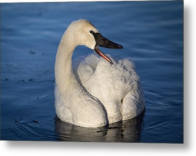 Metal Print featuring the photograph Happy Swan by Patti Deters