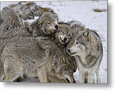 Happy Wolf Pack Metal Print by Wolves Only