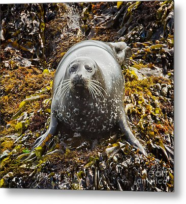 Harbor Seal Metal Print by Alice Cahill