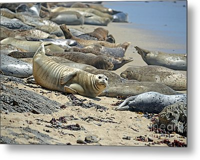 Harbor Seals Lounging On The Beach At Fitzgerald Reserve Metal Print by Jim Fitzpatrick