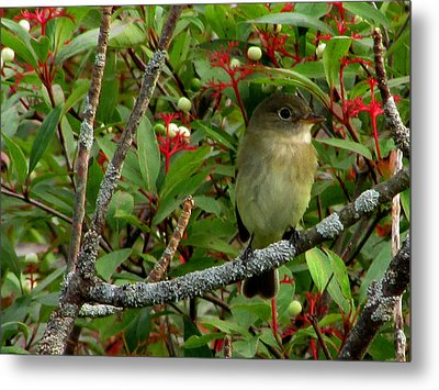 Metal Print featuring the photograph Hardly The Least Least Flycatcher by Kimberly Mackowski