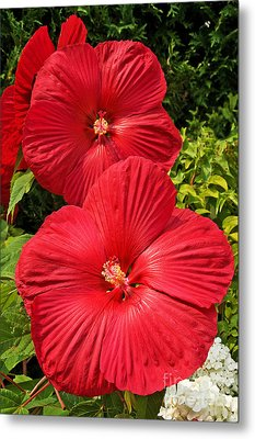 Metal Print featuring the photograph Hardy Hibiscus by Sue Smith