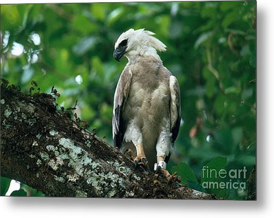 Harpy Eagle Metal Print by Art Wolfe