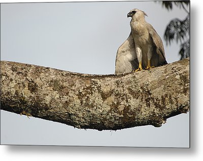 Harpy Eagle Chick In Kapok Tree Metal Print by Pete Oxford