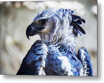 Harpy Eagle Harpia Harpyja Metal Print by Leonardo Mer�on