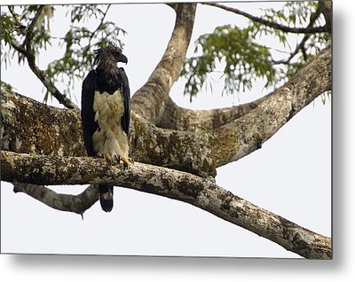 Harpy Eagle In Kapok Tree Metal Print