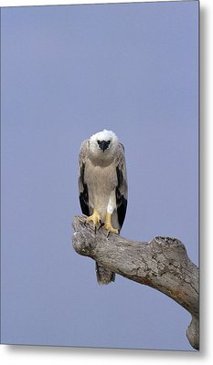 Harpy Eagle Juvenile Silk-cotton Tree Metal Print