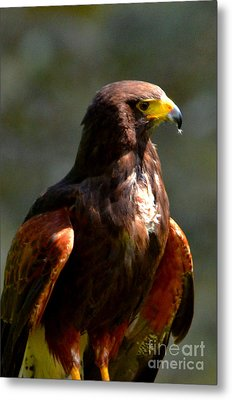 Harris Hawk In Thought Metal Print by Pravine Chester