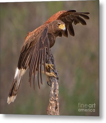 Harris's Hawk 1 Metal Print by Jerry Fornarotto