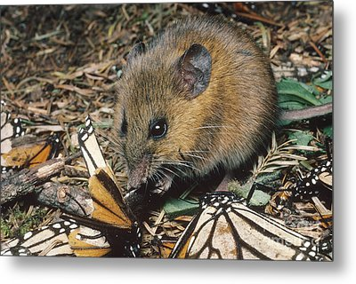 Harvest Mouse Feeds On Monarchs Metal Print